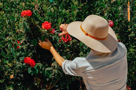 Woman in a sun hat scissors cuts fresh roses from the bushes. Italy. Florence. Mixed media