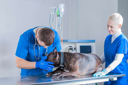 Image of a bulldog being examined at the clinic. Two doctors. Veterinary medicine concept. Taking care of pets. Mixed media