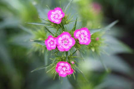 Colorful garden flower 版權商用圖片
