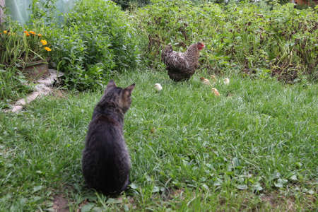 The cat preys on chickens Stock Photo