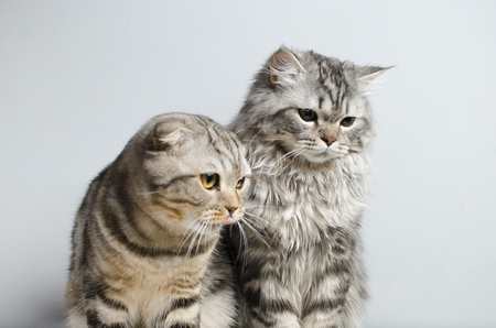 The Scottish Fold and Scottish pristine cat sit cute on a white insulator. Place for the text. Фото со стока