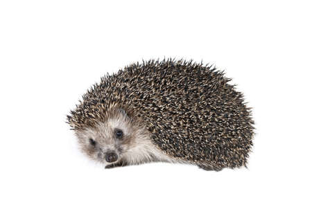 Forest hedgehog on a white background  photo