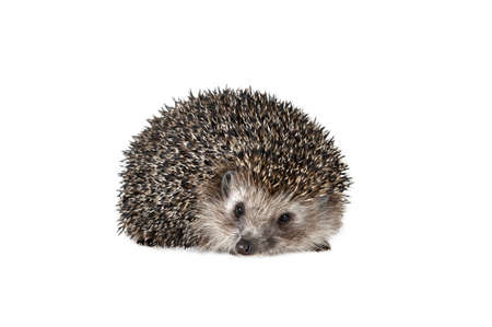 spiked: Forest hedgehog on a white background