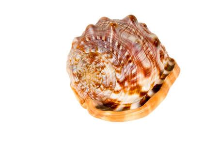 cockleshells: Sea cockleshells .