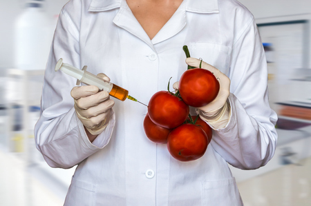 GMO experiment: Scientist injecting liquid from syringe into red tomatoes in agricultural research laboratory