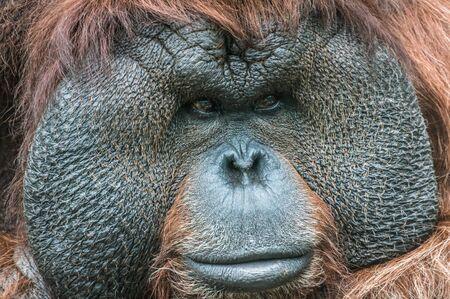 Portrait of a Bornean Orangutan on grass in summer day