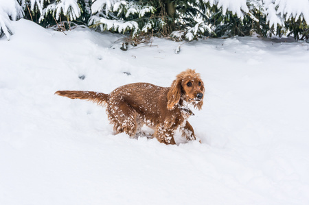 English cocker spaniel playing on the snow in winter