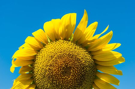 effloresce: Sunflower and blue sky background Stock Photo