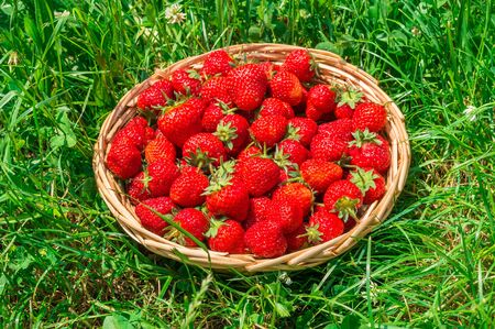 Fresh red strawberries in wooden knitting basket on green grass background Stock Photo