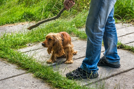 cocker: Man holds a stick in hand and he wants to hit the dog - dog abuse