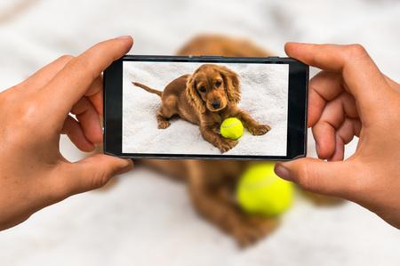 Mujer manos con teléfono celular móvil para tomar una foto de Inglés cocker spaniel cachorro con pelota de tenis amarilla