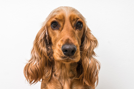 cocker: English cocker spaniel dog isolated on white background