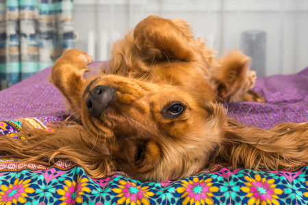 English cocker spaniel is lying on bed at home Stock Photo