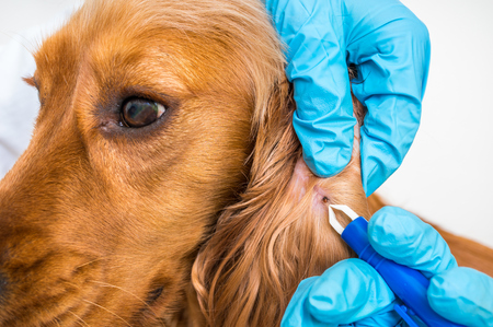 Veterinarian doctor removing a tick from the Cocker Spaniel dog - animal and pet veterinary care concept