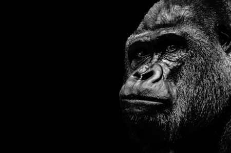 Portrait of a Gorilla isolated on black background Stock Photo