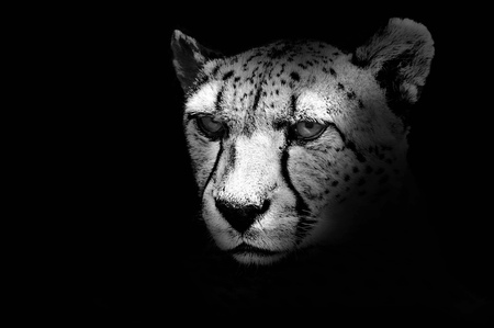 Black and white portrait of a cheetah, close-up
