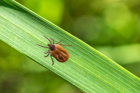parasite: Close-up of tick filled with blood crawling on leaf of grass