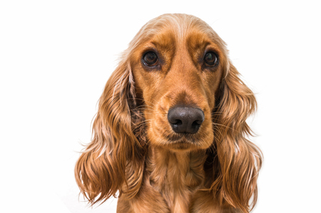 English cocker spaniel dog isolated on white background