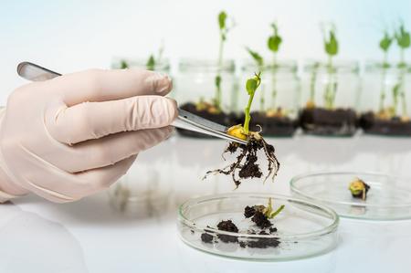 Scientist testing GMO plant in laboratory - biotechnology and GMO concept Stock Photo