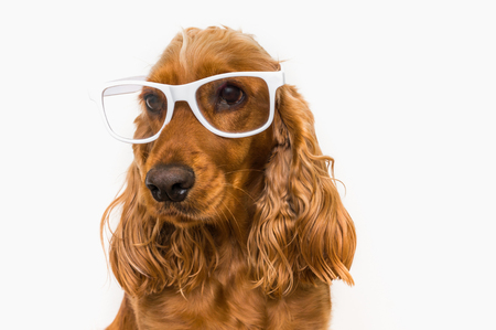 Funny Cocker Spaniel dog with eyeglasses isolated on white background