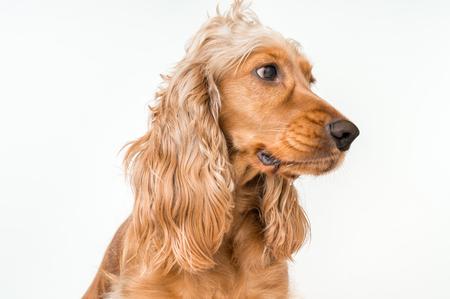 English cocker spaniel dog isolated on white background