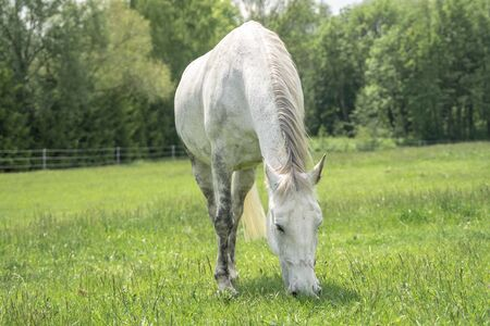 White horse standing on a field with green grass