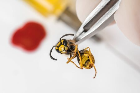 Science entomologist with tweezers examines wasp - diseases, reproduction, gene modification concept