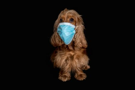English Cocker Spaniel dog with medical face mask isolated on black background Standard-Bild