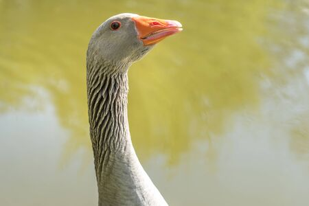 Close-up portrait of goose head with beak