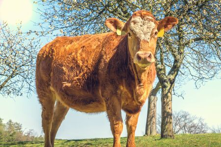 Portrait of brown cow in a farm - agriculture concept