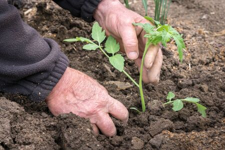 Man planting a tomatoes seedling in the vegetable garden - agriculture concept