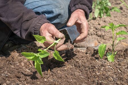 Man planting a pepper seedlings in the vegetable garden - agriculture concept