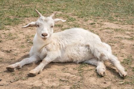 Cute white goat lying on the ground