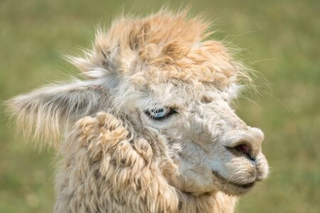 Fluffy llama on green grass background