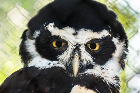 Close-up portrait of Spectacled Owl