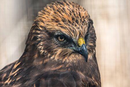 Close-up portrait of Red Tailed Hawk