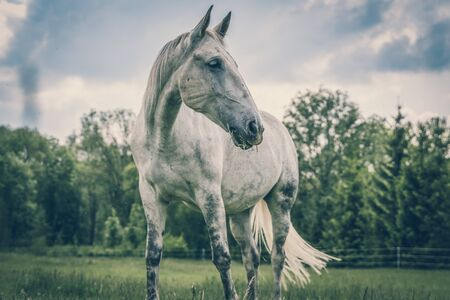 White horse standing on a field with green grass - retro style 스톡 콘텐츠