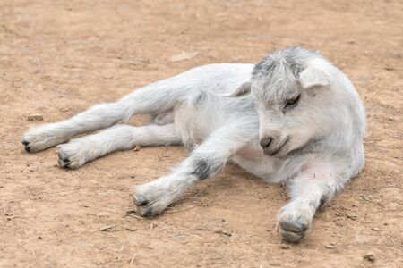 Small white goat lying on the ground