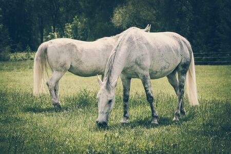 White horses standing on a field with green grass - retro style