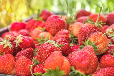 Red ripe strawberries in the basket on sunny background 스톡 콘텐츠