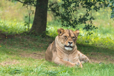 Female lion lying and resting on sunny day