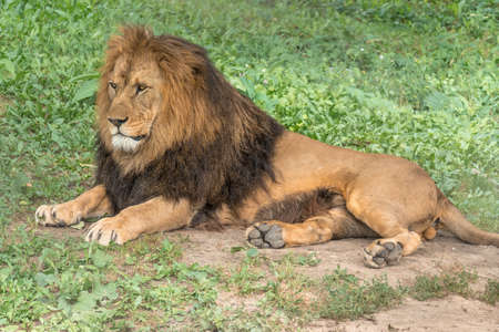 Lion lying and resting on sunny day on the ground Stockfoto