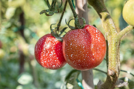 Sprayed tomatoes with pesticides, herbicides and insecticides - unhealthy eating concept Stok Fotoğraf