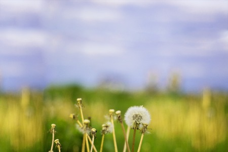 Vintage photo of dandelions blower woman on meadow. Horizontal
