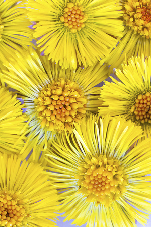 Many yellow bright flowers of Coltsfoot, Tussilago farfara, bachground for medecine, botanic and cosmetic design. Wild medicinal healing herb. Macro. Vertical
