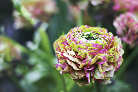 Pink and Green Pon Pon Ranunculus on the background of defocused garden with copy space for text or design