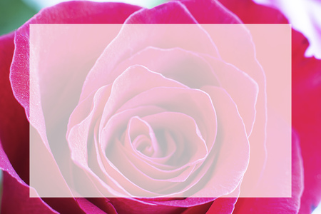 Close up view of beautiful bright pink rose with abstract curves of petals. Macro image with white box in the center. Fresh beautiful flower as expression of love and respect. Horizontal.