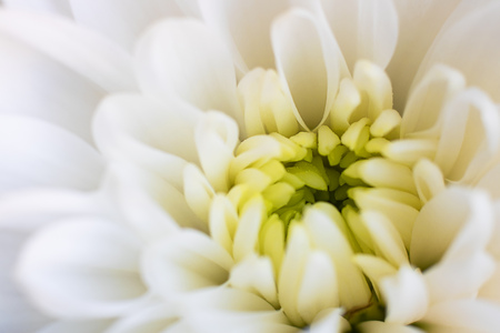 Close up a chrysanthemum white Flower with yellow center and blurred petals on edges. Horizontal. Fresh beautiful crown daisy as expression of love and respect for postcard and wallpaper.
