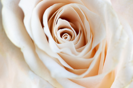 Close up view of beautiful white rose with pastel pink tint. Macro image of white rose. Fresh beautiful flower as expression of love and respect for postcard and wallpaper. Horizontal.