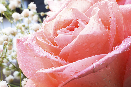 Close up view of beautiful coral pink rose with drops of water. Macro image. Fresh beautiful flower as expression of love and respect for postcard and wallpaper. Horizontal. Banco de Imagens